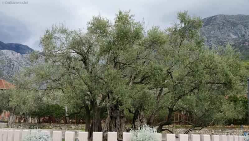 najstarsze drzewo oliwne