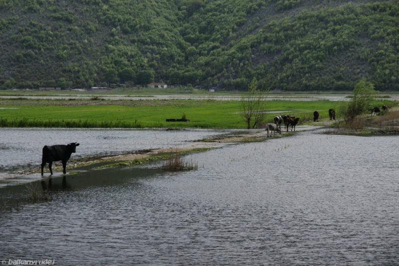 albańskie krowy