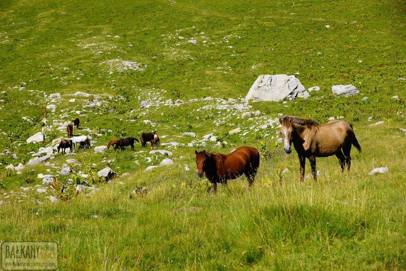 Konie Korab Albania