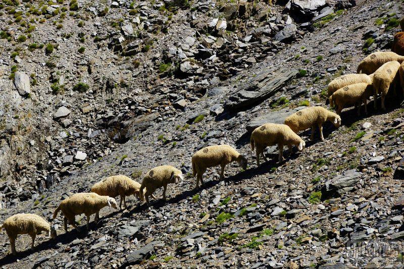 owce macedonia
