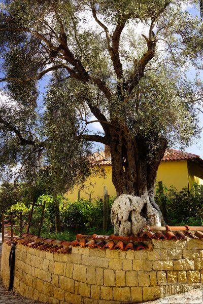 drzewo oliwne Petrele
